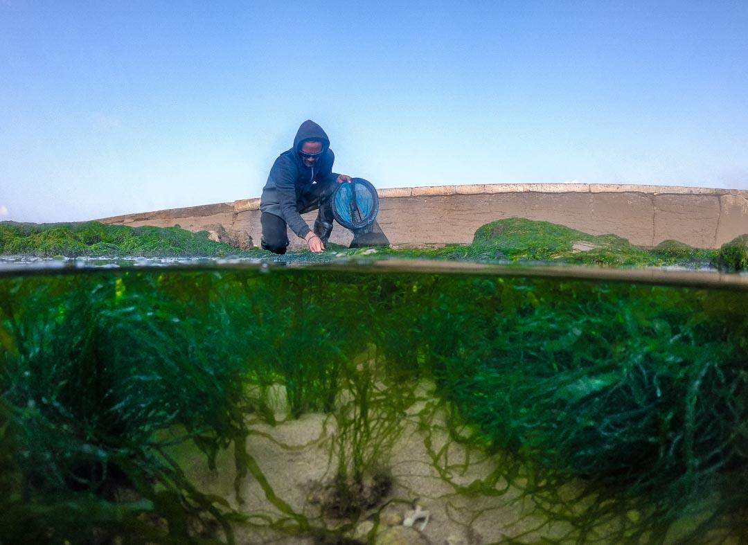 Algae from Charente Maritime